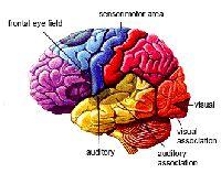 Sự liên kết của tế bào não được quyết định trong giai đoạn từ 0 đến 3 tuổi
